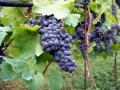 Winemaking-1