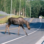 Moose_crossing_a_road