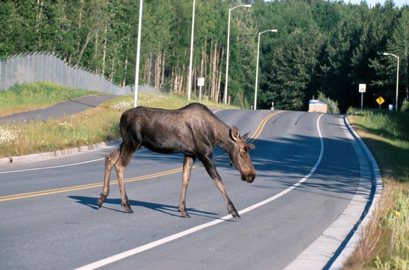 Moose_crossing_a_road